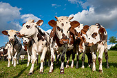 COW 02 KH0158 01