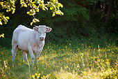 COW 02 KH0164 01