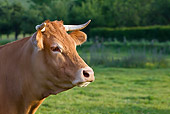COW 02 KH0175 01