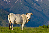 COW 02 KH0177 01