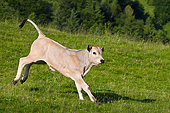COW 02 KH0185 01