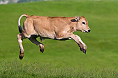 COW 02 KH0186 01
