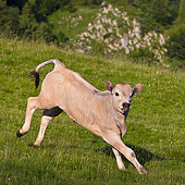 COW 02 KH0188 01
