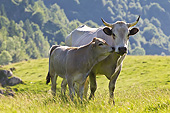 COW 02 KH0191 01