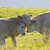COW 02 KH0193 01