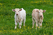 COW 02 KH0207 01