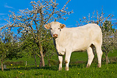 COW 02 KH0208 01