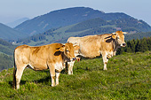 COW 02 KH0220 01