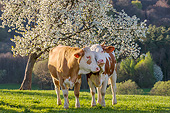 COW 02 KH0222 01