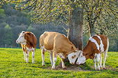 COW 02 KH0224 01