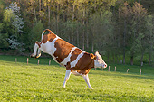 COW 02 KH0227 01