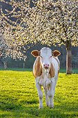 COW 02 KH0228 01