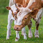 COW 02 KH0234 01