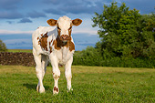 COW 02 KH0237 01
