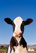 COW 02 RK0002 45