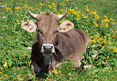 COW 02 WF0008 01
