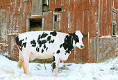 COW 02 LS0001 01