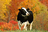 COW 02 LS0008 01