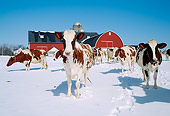 COW 02 LS0013 01