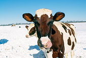 COW 02 LS0014 01