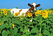 COW 02 LS0015 01