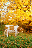 COW 02 LS0020 01