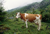 COW 02 LS0033 01