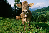 COW 02 LS0035 01