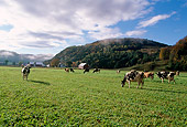COW 02 LS0042 01