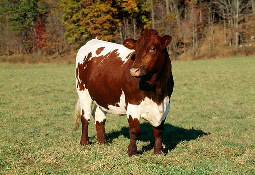 Pinzgauer Cattle for Pinterest