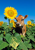 COW 02 LS0048 01