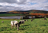 COW 02 LS0056 01