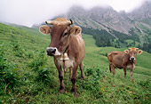 COW 02 LS0061 01