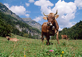 COW 02 LS0062 01