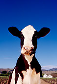 COW 02 RK0003 19