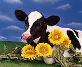 COW 02 RK0019 11