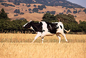 COW 02 RK0036 08