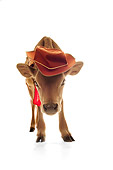 COW 02 RS0003 01