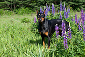 DOG 01 LS0133 01