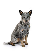 DOG 01 RK0702 06