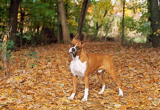 •~•Roxy•~• •~•Female•~• •~•Boerboel X Greyhound X Boxer•~• DOG_01_LS0034_01_P