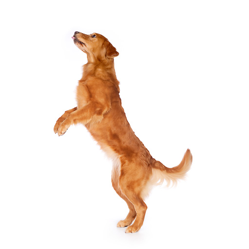 how to teach a dog to walk on two legs