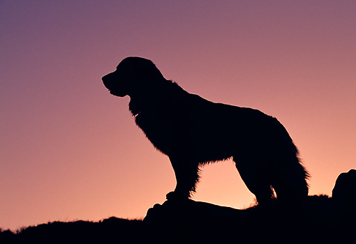 Golden Retriever Silhouette Golden retriever standing