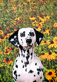 DOG 04 FA0009 01
