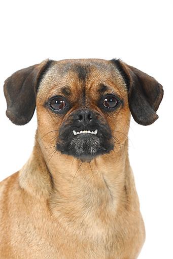 Pug Dog Mix Dog 07 pe0004 01 - head shot
