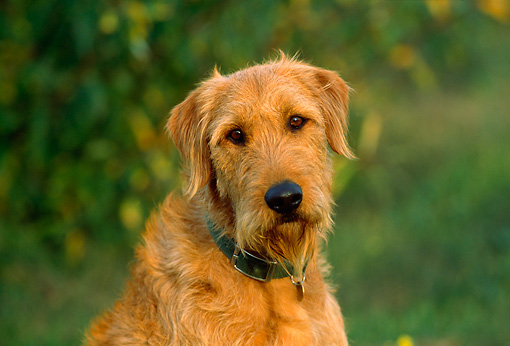 Airedale Terrier Mix Puppy...