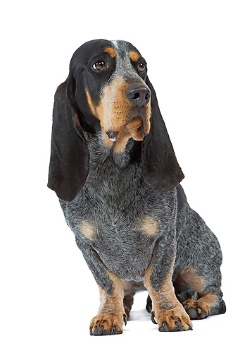 basset hound animal stock photos kimballstock