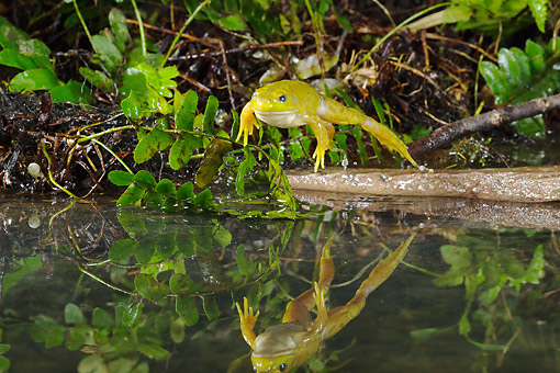 Frog Jumping Pond | www.pixshark.com - Images Galleries ...