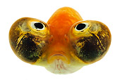 FSH 01 MH0034 01