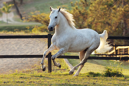 Galloping white horse - photo#6